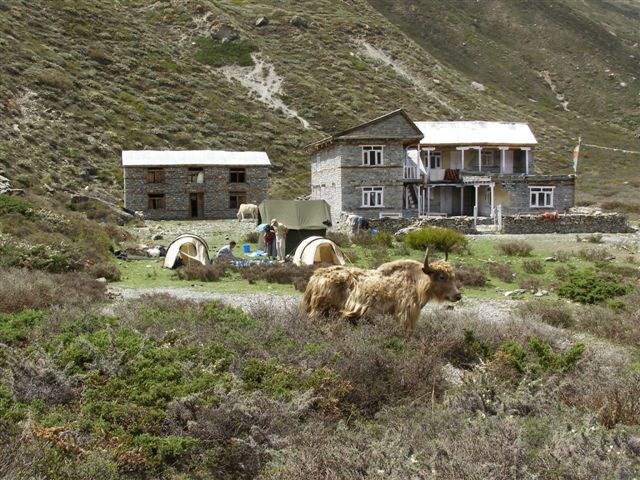 Tilicho base camp met Yak